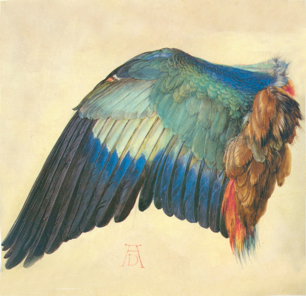 Albrecht Duerer - wing of a blue roller